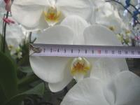 大輪系の胡蝶蘭では花の大きさが重要