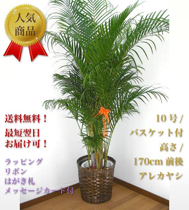 観葉植物10号 バスケット付 アレカヤシ