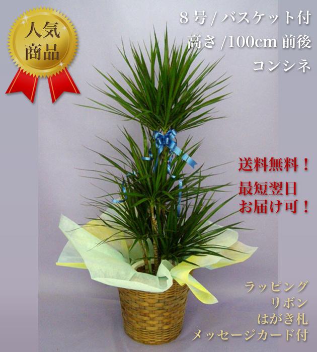 観葉植物8号 バスケット付 コンシンネ
