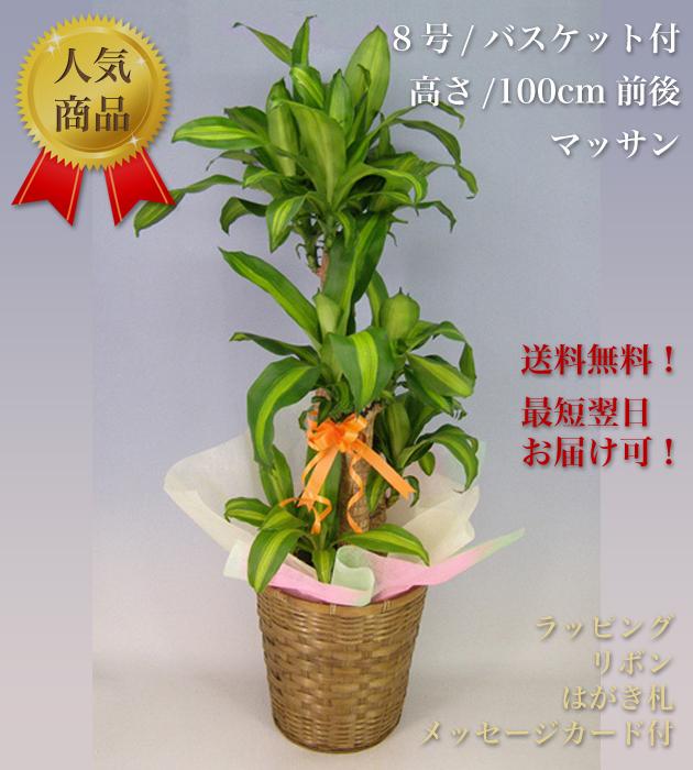 観葉植物8号 バスケット付 マッサン