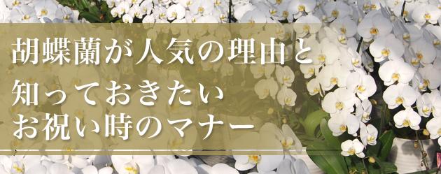 胡蝶蘭が人気の理由とお祝い時のマナー